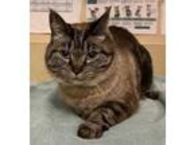Adopt Tiffany a Brown or Chocolate Domestic Shorthair / Siamese / Mixed (short