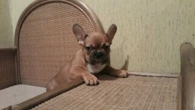 French Bulldog PUPPY FOR SALE ADN-108049 - Male French Bulldog