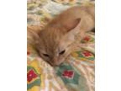 Adopt Tator a Orange or Red Domestic Shorthair / Domestic Shorthair / Mixed cat