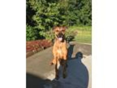 Adopt Frazier a Brown/Chocolate Boxer / Poodle (Standard) / Mixed dog in