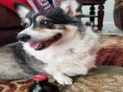 Adopt COORS a Tricolor (Tan/Brown & Black & White) Corgi / Mixed dog in Fort