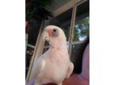 Adopt Paco a Cockatoo