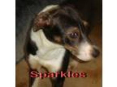 Adopt Sparkles a Brown/Chocolate - with White Australian Shepherd / Mixed dog in