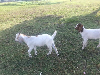 I have 3 MALES GOAT FOR TRADE FOR SOME FEMALES GOATS