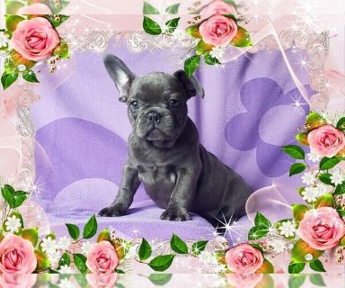 French Bulldog PUPPY FOR SALE ADN-130144 - FrenchieZ PuP