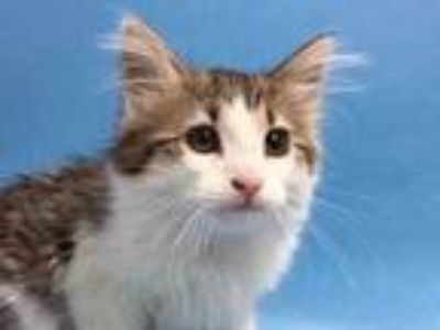 Adopt Taz a Brown or Chocolate Domestic Longhair / Mixed cat in St.