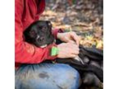 Adopt Coraline a Black American Pit Bull Terrier / Mixed dog in Washington