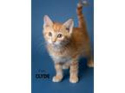 Adopt Clyde a Domestic Shorthair / Mixed (short coat) cat in Boone