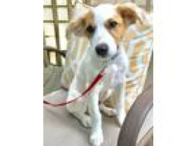 Adopt Jeremiah a White - with Tan, Yellow or Fawn Terrier (Unknown Type