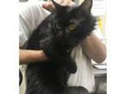 Adopt Blackie a Domestic Mediumhair / Mixed cat in Birmingham, AL (25635524)