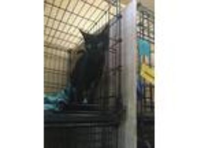 Adopt Giblet a All Black Domestic Shorthair (short coat) cat in Baton Rouge