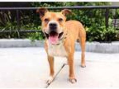 Adopt SQ a Brown/Chocolate American Pit Bull Terrier / Mixed dog in Chicago