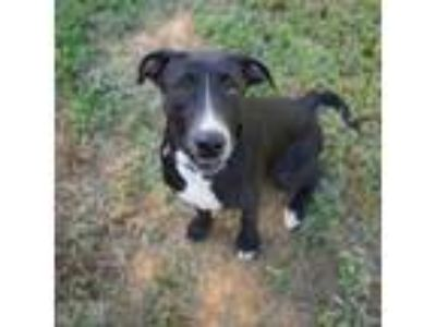 Adopt Petunia a Great Dane, Border Collie