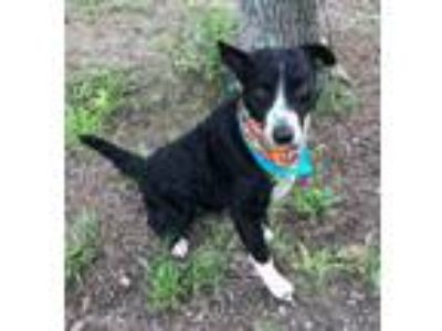 Adopt BULLET a Border Collie, Curly-Coated Retriever