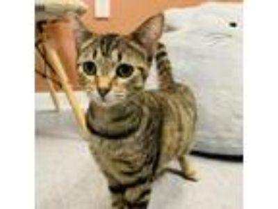 Adopt Melody : @DESTINATION CATS a Domestic Shorthair / Mixed (short coat) cat