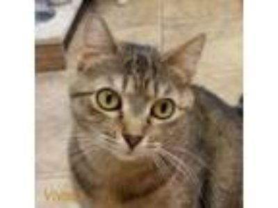 Adopt Vivien a Domestic Short Hair