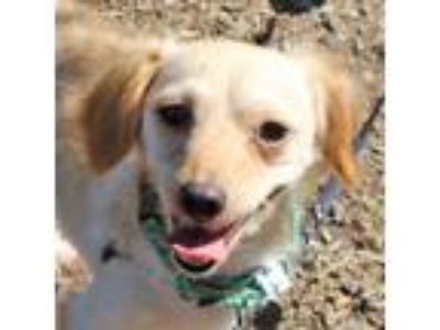 Adopt Dahlia a Tan/Yellow/Fawn Dachshund / Spaniel (Unknown Type) / Mixed dog in
