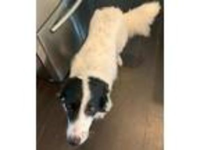 Adopt JP a White - with Black Border Collie dog in Concord, NC (25822311)