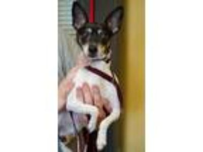 Adopt Gracie a Black Rat Terrier / Mixed dog in Bowling Green, KY (25894348)