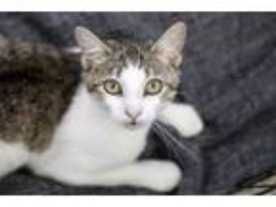 Adopt Watermelon a Domestic Short Hair