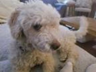 Adopt Ralphie a White Poodle (Miniature) / Dachshund dog in Irvine