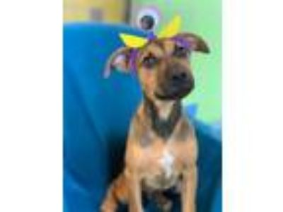 Adopt Top Secret a Black Mouth Cur, Mixed Breed
