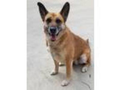 Adopt Heidi a Tan/Yellow/Fawn - with Black Belgian Malinois / Mixed dog in