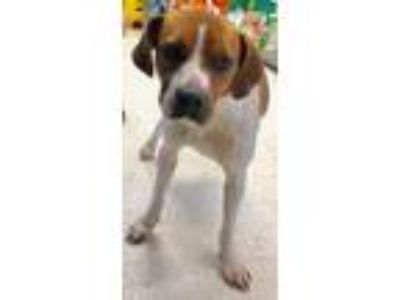 Adopt 16819 a Brown/Chocolate - with White Boxer / Beagle / Mixed dog in