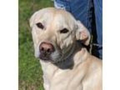 Adopt Diana - local gal a Yellow Labrador Retriever, Weimaraner