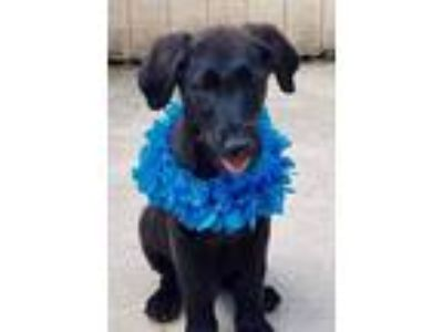 Adopt Mickey a Retriever, Spaniel