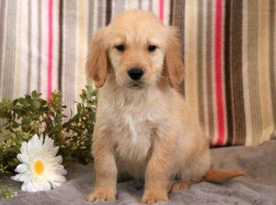 Golden Retriever PUPPY FOR SALE ADN-71282 - Golden Retriever Puppy for Sale