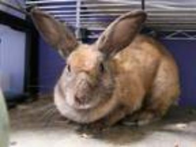 Adopt a Sable Other/Unknown / Mixed rabbit in Austin, TX (25883715)