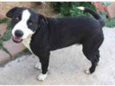 Adopt Hercules a Border Collie / Pit Bull Terrier / Mixed dog in San Diego
