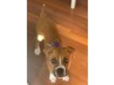 Adopt Marley a Tricolor (Tan/Brown & Black & White) Boxer / Mixed dog in