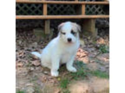 Adopt Puppy #3 a Catahoula Leopard Dog, Mixed Breed