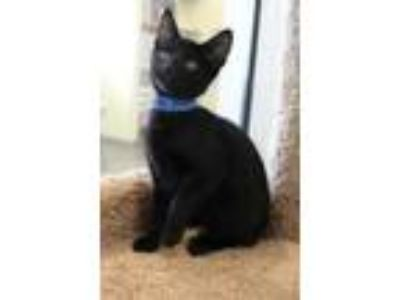 Adopt Long Johns a All Black Domestic Shorthair / Domestic Shorthair / Mixed cat