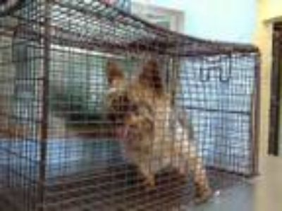 Adopt NEEDS RESCUE a Yorkshire Terrier