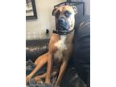Adopt King a Tan/Yellow/Fawn - with Black Boxer / Mixed dog in Cincinnati