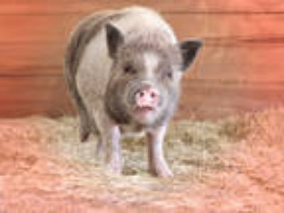 Adopt PORTIA a Pig (Farm) / Mixed farm-type animal in Vero Beach, FL (25207783)