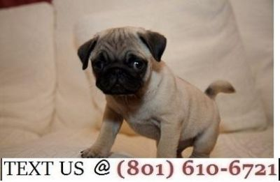 Respectful Reg Pug Puppis Available
