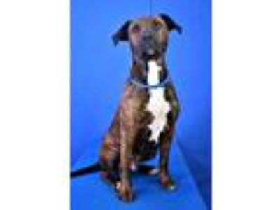 Adopt (found) Meg a Brown/Chocolate American Pit Bull Terrier / Mountain Cur /