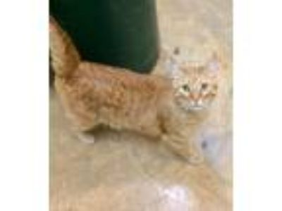Adopt Julius and Blossom a Domestic Short Hair