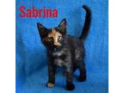 Adopt Sabrina a Tortoiseshell Domestic Shorthair (short coat) cat in Mays