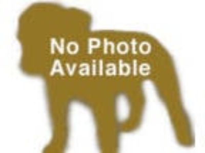 Adopt Wilson a Collie, Labrador Retriever