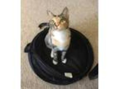 Adopt Trixie a Calico or Dilute Calico Domestic Shorthair / Mixed cat in