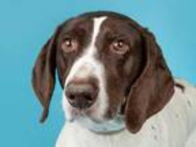 Adopt Cocoa a White Mixed Breed (Large) / Mixed dog in Longmont, CO (24791515)