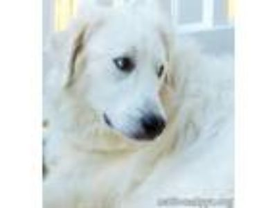 Adopt Hillary in MD a White Great Pyrenees / Mixed dog in Beacon, NY (17341699)