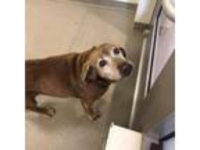 Adopt Babs a Brown/Chocolate Labrador Retriever / Basset Hound dog in Lynchburg