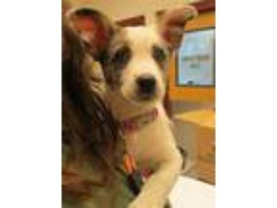 Adopt Grace Kelly a Australian Cattle Dog / Blue Heeler, Australian Shepherd