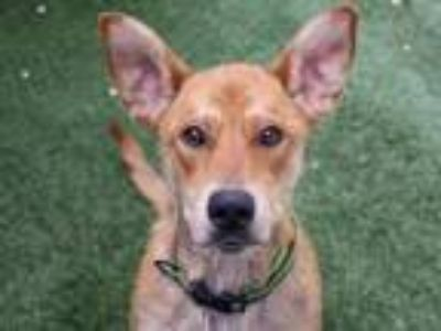Adopt BEAR a German Shepherd Dog, Mixed Breed